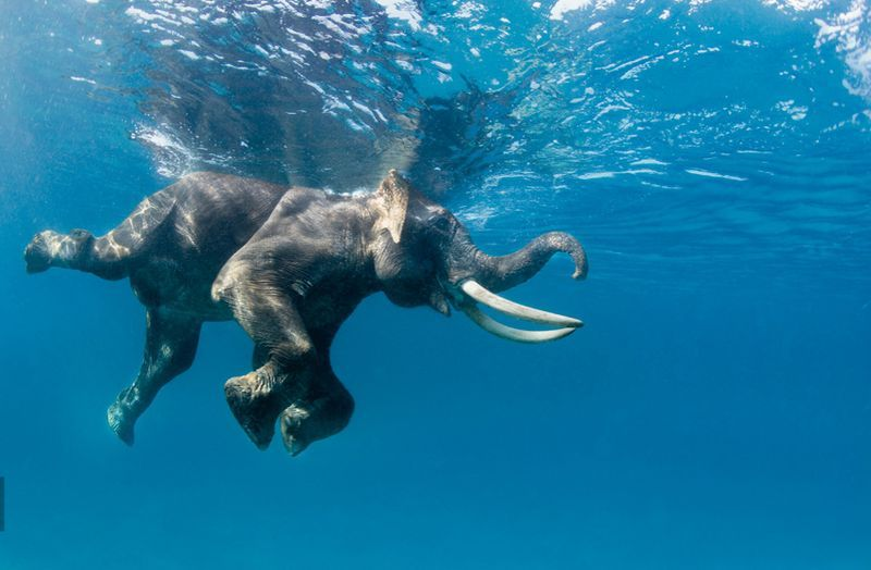 Stamina Elephant in the water